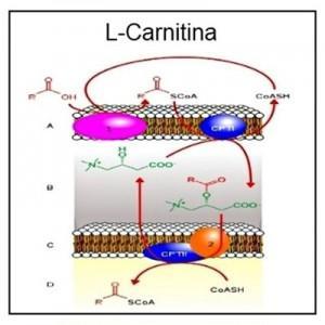 que-es-la-l-carnitina