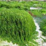 7 propiedades y beneficios de las algas marinas