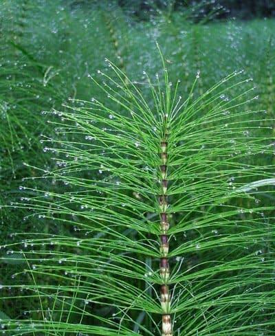 cola-de-caballo-planta