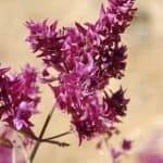 La Salvia. Propiedades y beneficios