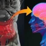 Probióticos ayudan a restablecer la función cognitiva en ratones que siguen una dieta alta en grasas