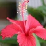 flor-hibisco-adelgazar